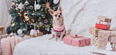Adorable little Christmas dog chihuahua dog in sweater lies on a blanket