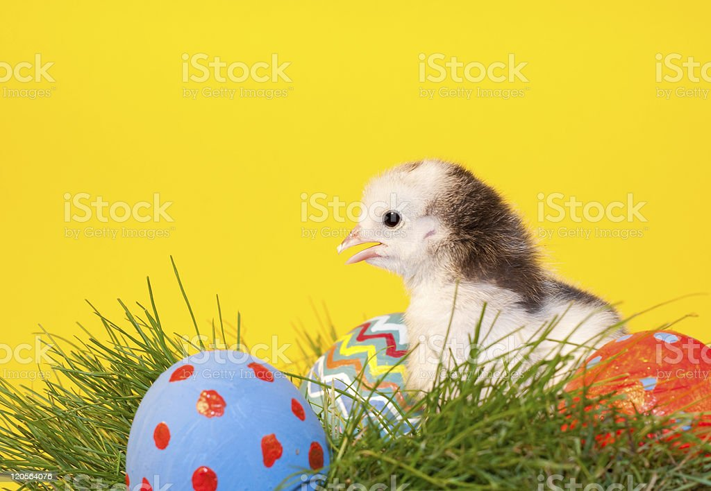 Adorable little Easter chick in grass royalty-free stock photo