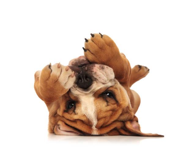 Adorable little english bulldog puppy laying on its back picture id907622056?b=1&k=6&m=907622056&s=612x612&w=0&h=ski5tdrsdc1g8kfxyx0e1zgxv3d chpcohoknxpaamo=