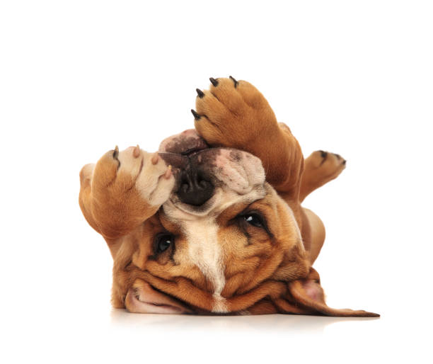 adorable little english bulldog puppy laying on its back stock photo