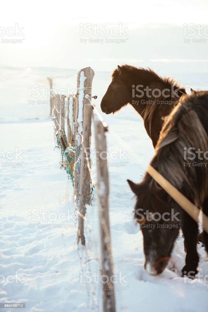 Adorable little furry Icelandic baby horse in the winter snowy field among adult horses foto stock royalty-free