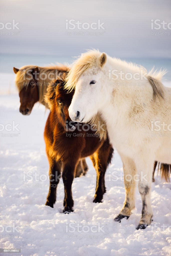 Adorable little furry Icelandic baby horse in the winter snowy field among adult horses royalty free stockfoto