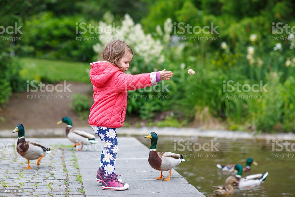 Adorable little girl feeding ducks at summer stock photo