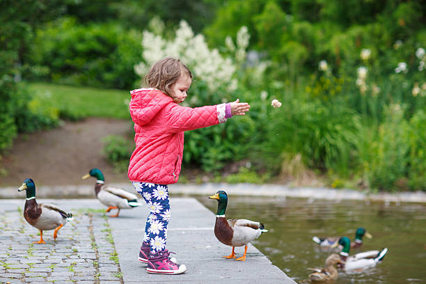 Adorable little girl feeding ducks at summer Adorable little girl feeding ducks at summer, in park duck bird stock pictures, royalty-free photos & images