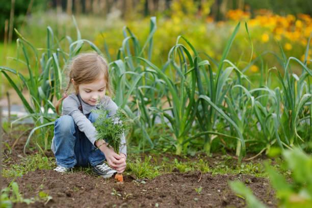 Zanahorias de picking de chica poco adorable - foto de stock