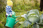 Adorable little toddler boy watering cabbage from a big green watering can and having fun. Child helps in the vegetable garden, outdoors. Countryside life and good harvest.