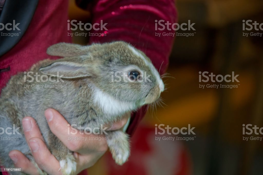 A man holds a little rabbit in his palms . adorable lopsided bunny in...