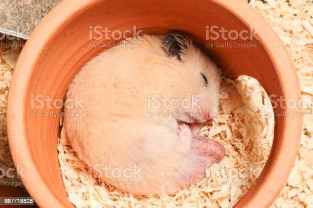 Adorable male orange syrian hamster is sleeping in clay house picture id667718828?b=1&k=6&m=667718828&s=612x612&h=zhk2gclj1iva5b6pmbntzs03pob8n4tt77esflrj2za=