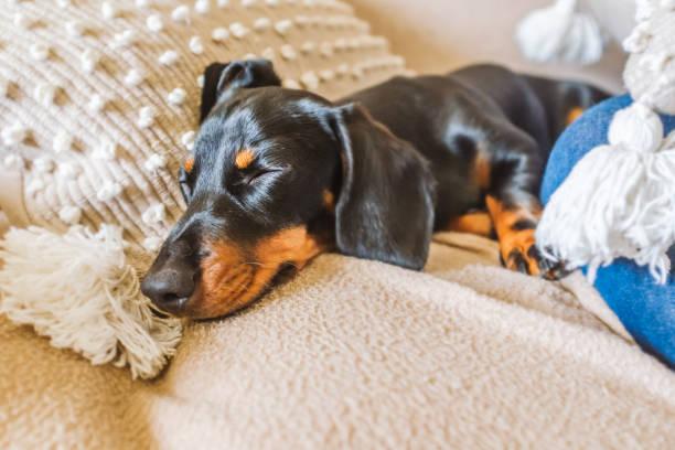 Entzückende Miniatur Dackel Welpen mit Floppy Ohren schlafen auf einem Kissen auf einem Sofa. Er ist schwarz und bräunung mit kurzen Haaren – Foto