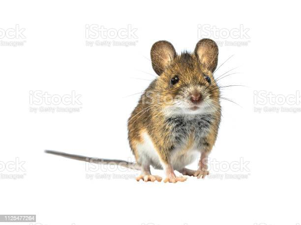 Adorable mouse isolated on white background picture id1125477264?b=1&k=6&m=1125477264&s=612x612&h=xzwimrutctp oswd 34dyyywr c5b4whtw8gtkkrfeo=