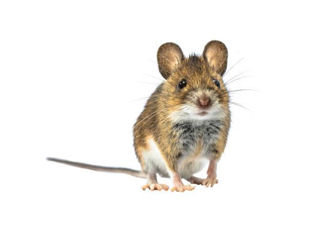 Adorable souris isolée sur fond blanc - Photo