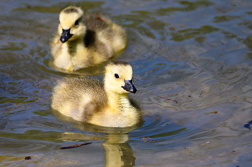 Adorable Newborn Goslings Learning to Swim in the Refreshingly Cool