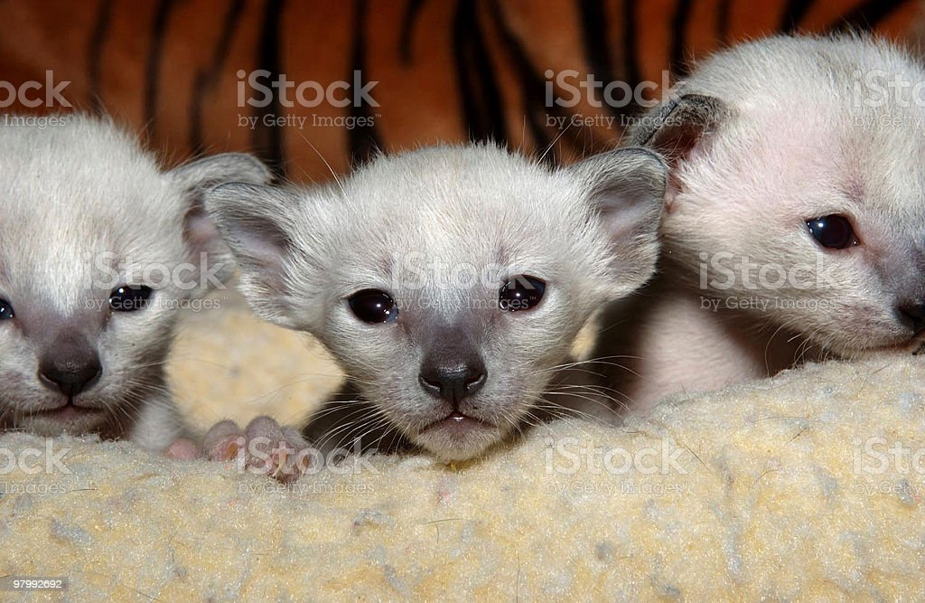 Adorable Newborn Siamese  Kittens royalty free stockfoto