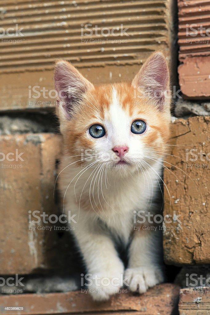 Urocza Pomarańczowobiała Kociak Z Niebieskie Oczy Stockowe Zdjęcia