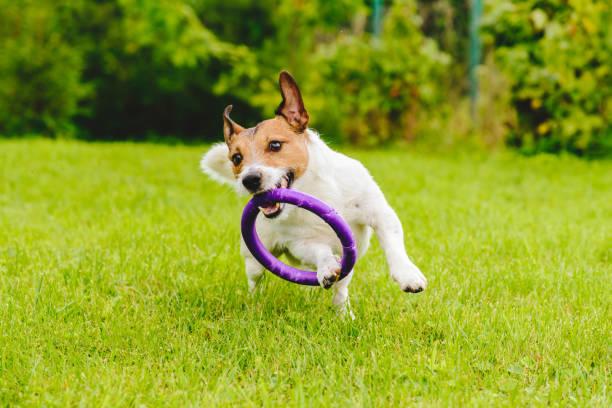 Adorable pet dog playing with toy at green grass lawn at back yard picture id892974026?b=1&k=6&m=892974026&s=612x612&w=0&h=am5dusx t5qkxjwdunacszuiinoif 2mc3vv04vfusu=