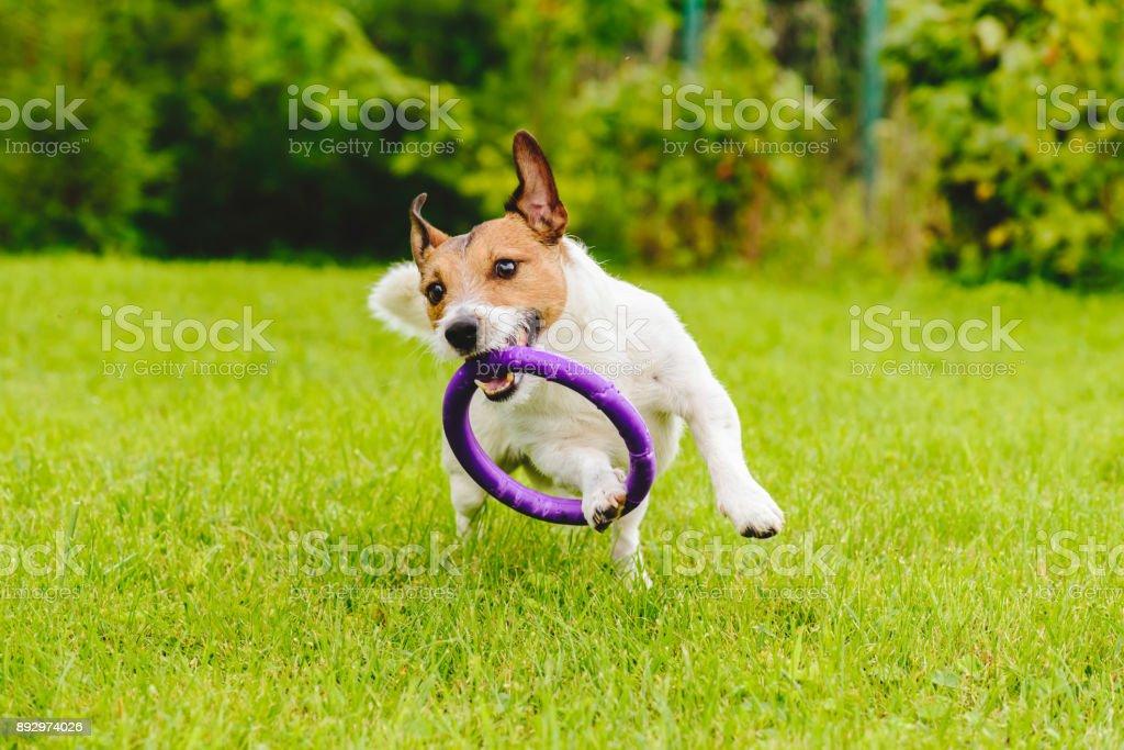 Adorable mascota perro jugando con el juguete en el césped de hierba verde en el patio trasero - foto de stock