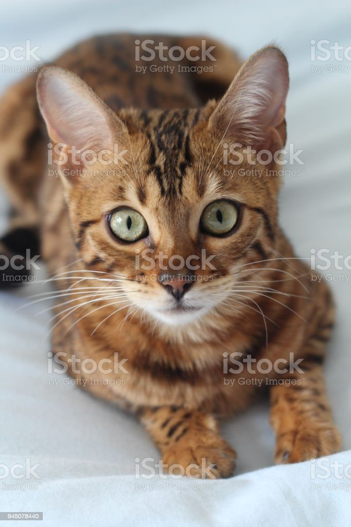 Adorable portrait of a Bengal cat stock photo