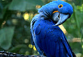 istock Adorable pose of vivid blue Hyacinth Macaw with blurry green forest in background 1198882893
