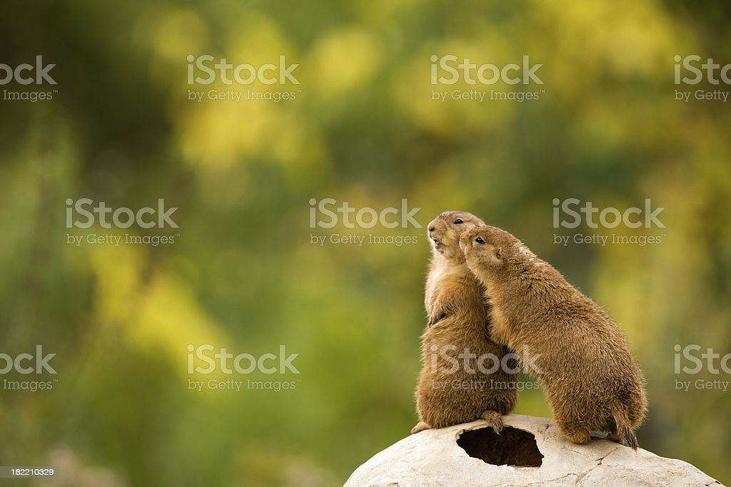 Adorable prairie dogs showing affection. royalty-free stock photo