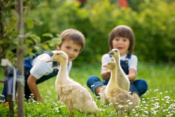 Adorable preschool children boy brothers playing with little in a picture id680902914?b=1&k=6&m=680902914&s=612x612&w=0&h=mxkvj5nifuipahoc4yjbtf9qt4sy9j85hlfdv5n 07g=