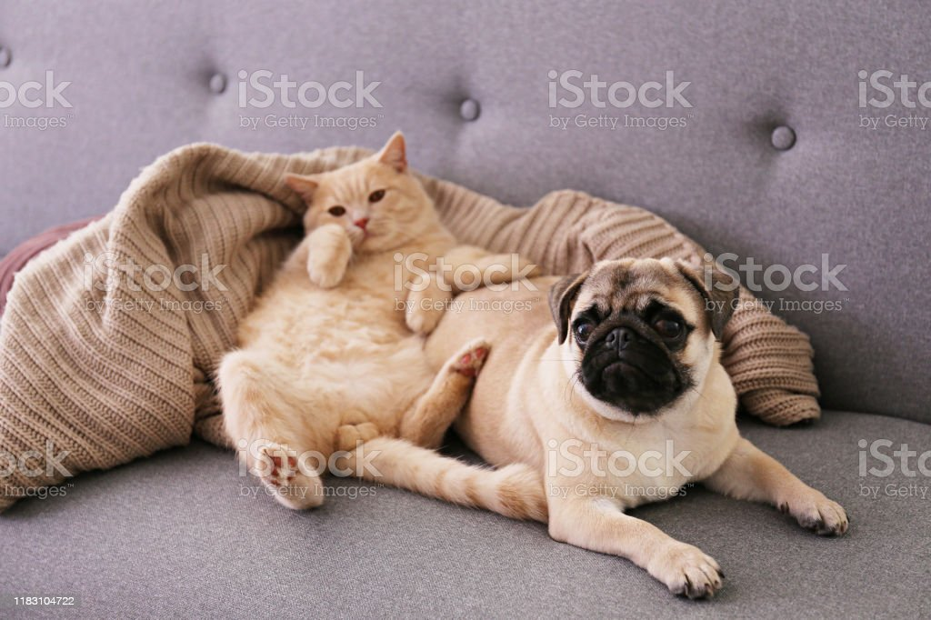 Adorable Pug And Cute Cat Sitting Together On The Couch Stock Photo Download Image Now Istock