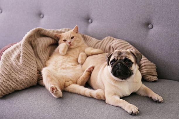 Adorable pug and cute cat sitting together on the couch picture id1183104722?b=1&k=6&m=1183104722&s=612x612&w=0&h=twsmd5u8indhp8ylpekpmbc3eqj2gajnjk6isdz0ptc=