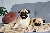 Two funny dreamy pugs with sad facial expression lying on the grey textile couch with blanket and cushion. Domestic pet at home. Purebred dog with wrinkled face. Close up, copy space, background.