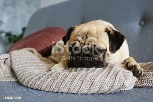 Funny dreamy pug with sad facial expression lying on the grey textile couch with blanket and cushion. Domestic pet at home. Purebred dog with wrinkled face. Close up, copy space, background.