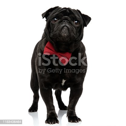 Adorable pug looking forward and begging while wearing a red bowtie and standing on white studio background
