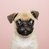 Adorable Pug puppy solo portrait