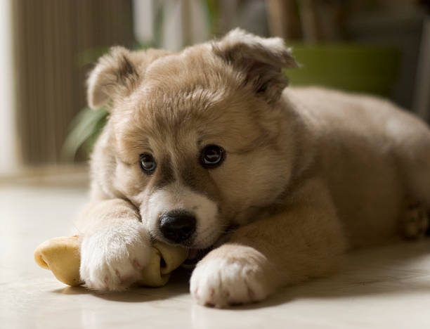 adorable puppy chewing his bone stock photo