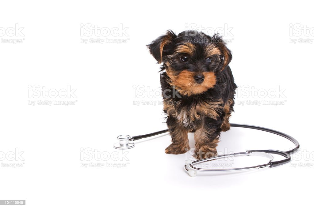 Adorable Puppy Dog with a Stethoscope royalty-free stock photo
