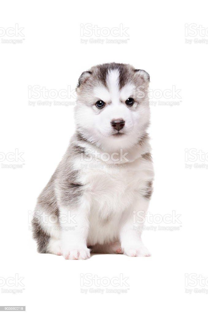 Adorable puppy  Husky stock photo