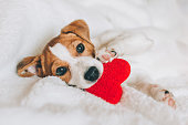 Adorable puppy Jack Russell Terrier with red heart on white blanket. Greeting card for Valentine's day.