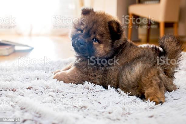 Adorable puppy on white rug picture id589556176?b=1&k=6&m=589556176&s=612x612&h=pftrvtsov2dvsltiqe57x3wpf6ewponfvok0i5fq t0=