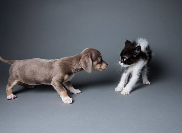 """Adorable Puppy Scaring a Kitten - The Amanda Collection Cute puppy, """"Bette,"""" scaring a kitten, """"Yin,"""" on a dark background.  By using this photo, you are supporting the Amanda Foundation, a nonprofit organization that is dedicated to helping homeless animals find permanent loving homes. scared cat stock pictures, royalty-free photos & images"""