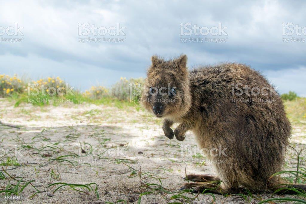 Adorable quokka kangaroo stock photo