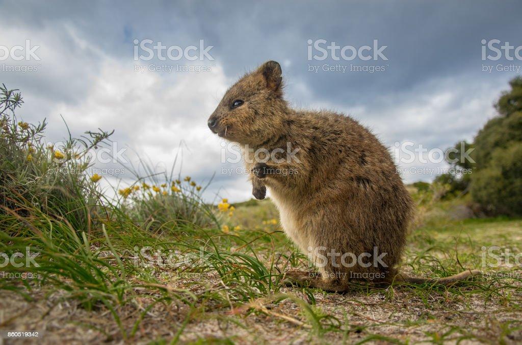 Adorable quokka kangaroo, Rottnest island, Western Australia stock photo