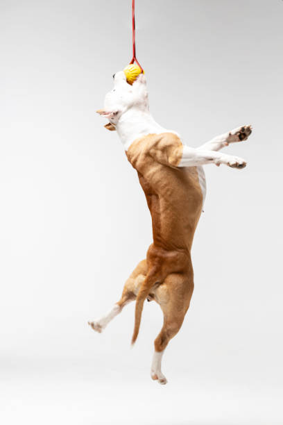 Adorable red dog jumps at white background picture id1158488322?b=1&k=6&m=1158488322&s=612x612&w=0&h=2xosgemg azbjz 1tyxbmxbkefi7ysocg5sdcfeystw=