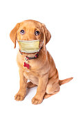 An adorable 10 week old Red Fox Labrador looking at the camera isolated on a white background. with a protective face mask on.