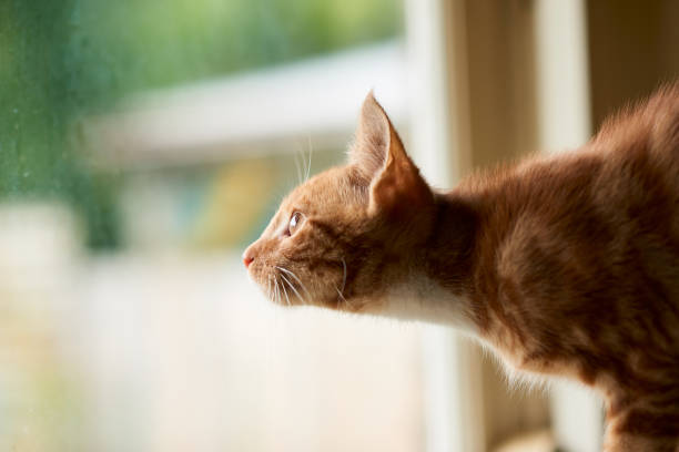 Adorable red ginger tabby cat looking out a window with excitement picture id1129731713?b=1&k=6&m=1129731713&s=612x612&w=0&h=ystp7qn7sa3  zh0meuqppnkf5zskf2 ca2cesqlelo=