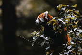 Adorable Red Panda Playing in a Tree