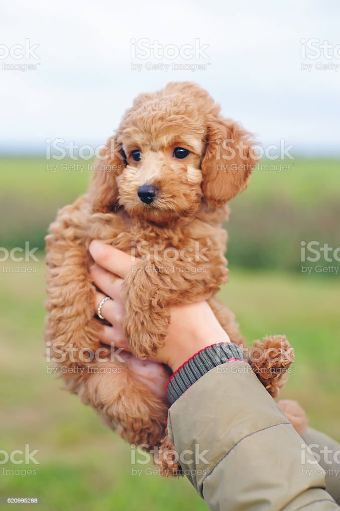 Adorable Red Toy Poodle Puppy In Womans Hands Stock Photo Download Image Now Istock