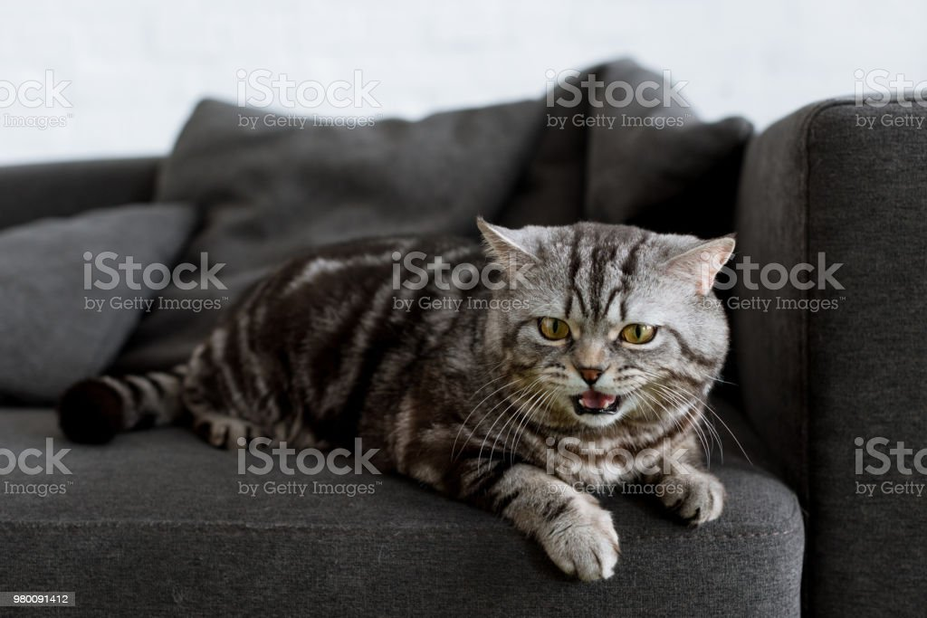 adorable scottish straight cat lying on couch at home stock photo