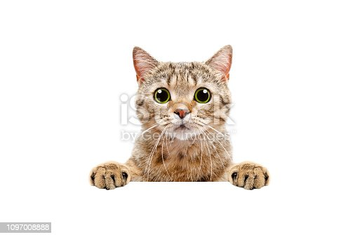 Adorable Scottish Straight cat, peeking from behind a banner Isolated on white background