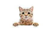 バナーの後ろから覗く、愛らしいスコットランド ストレート猫
