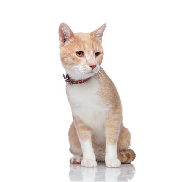 Adorable seated orange and white cat looks down to side picture id956297832?b=1&k=6&m=956297832&s=612x612&w=0&h=uxogiw2xpds0qltzou9kcd2b5olxfij 6fdcjryfdfg=