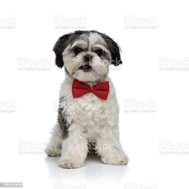Adorable shih tzu wearing red bowtie sitting with tongue exposed picture id1094024658?b=1&k=6&m=1094024658&s=612x612&h=shzizxju4cfugjm3xum4qmcmt fxba45ua2jhe5sw84=