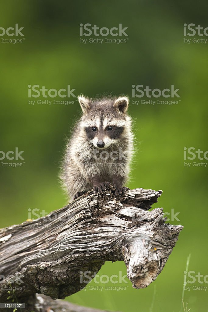 Adorable shy baby raccoon on a log. stock photo