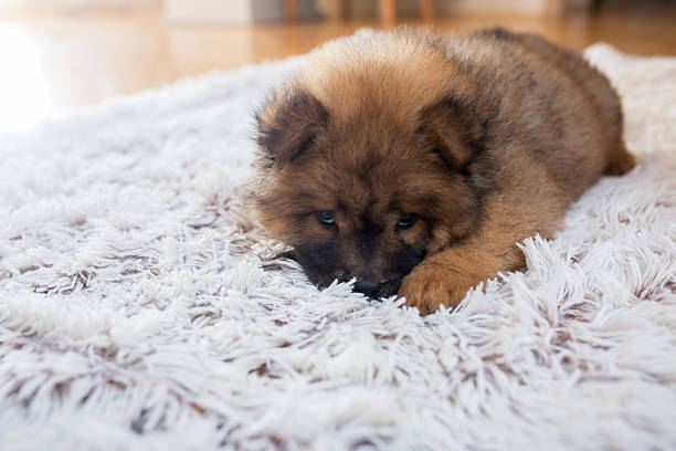 Adorable shy puppy lying on the carpet. - Photo